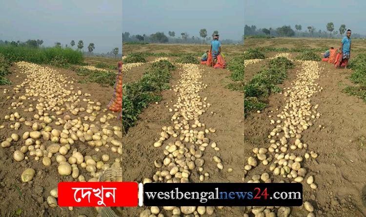 আলুর দাম না থাকায় মাথায় হাত হাওড়া জেলার আলুচাষীদের - West Bengal News 24
