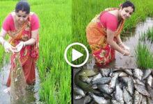 ধানের ক্ষেতে মাছ ধরে তাক লাগিয়ে দিল সুন্দরী বৌদি, দেখুন সেই ভাইরাল ভিডিও - West Bengal News 24